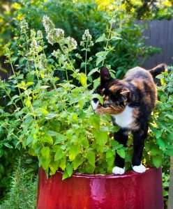 A cat sat near a catnip plant.