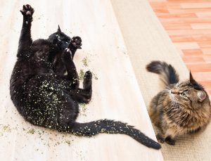 A cat rolling around in catnip.