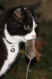 A photo of a cat with a mouse in its mouth