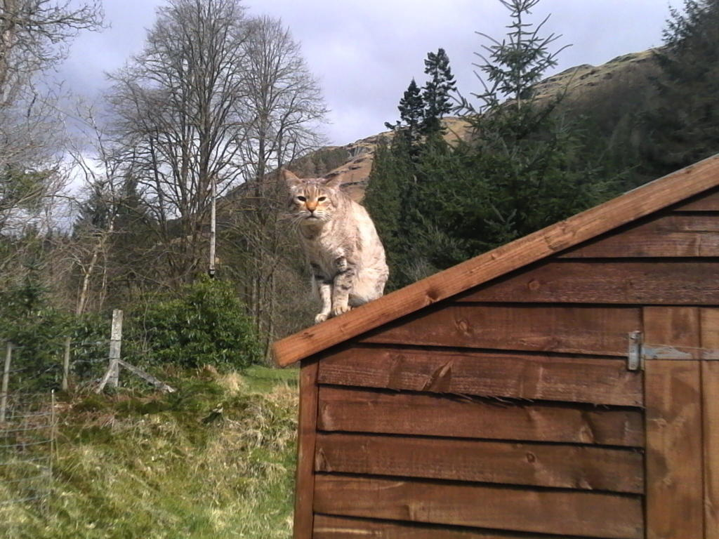 A photo of a cat perched high on a shed roof
