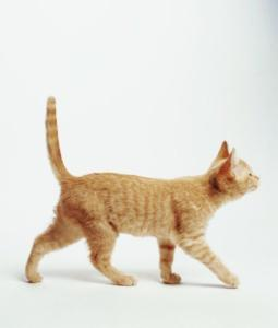 A photo of a cat with a straight tail