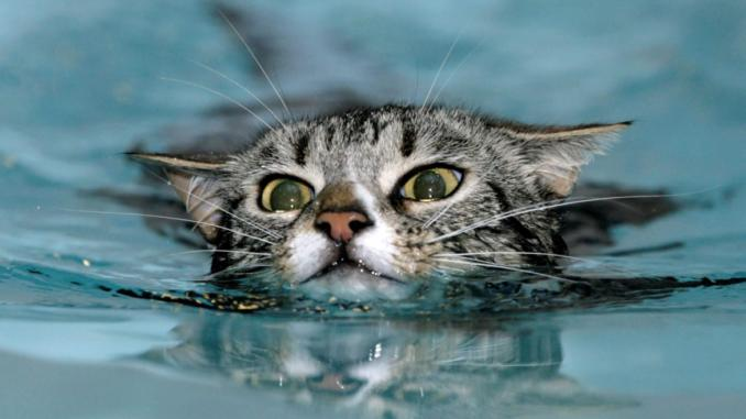 a61192cdbe Can cats swim and if so why do they not like water  - The Fine Cat