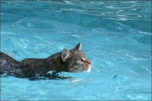 A photo of a cat swimming