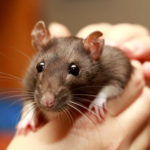 A pet rat being held