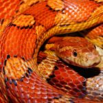 a photo of a corn snake