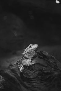 A black and white photo of a bearded dragon in a vivarium
