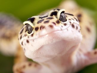A photo of a happy leopard geckos face