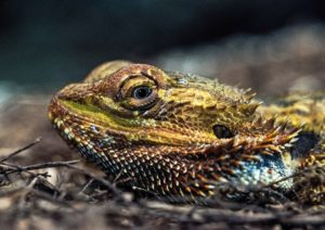A photo of a bearded dragon