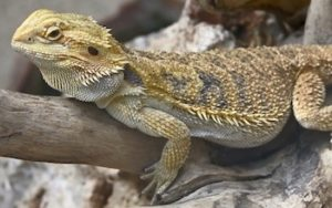 A photo of a bearded dragon relaxing
