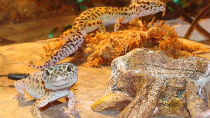 Leopard geckos housed together