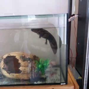 A photo of a constipated Axolotl that is floating and will not eat