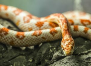 A photo of a corn snake in vivarium