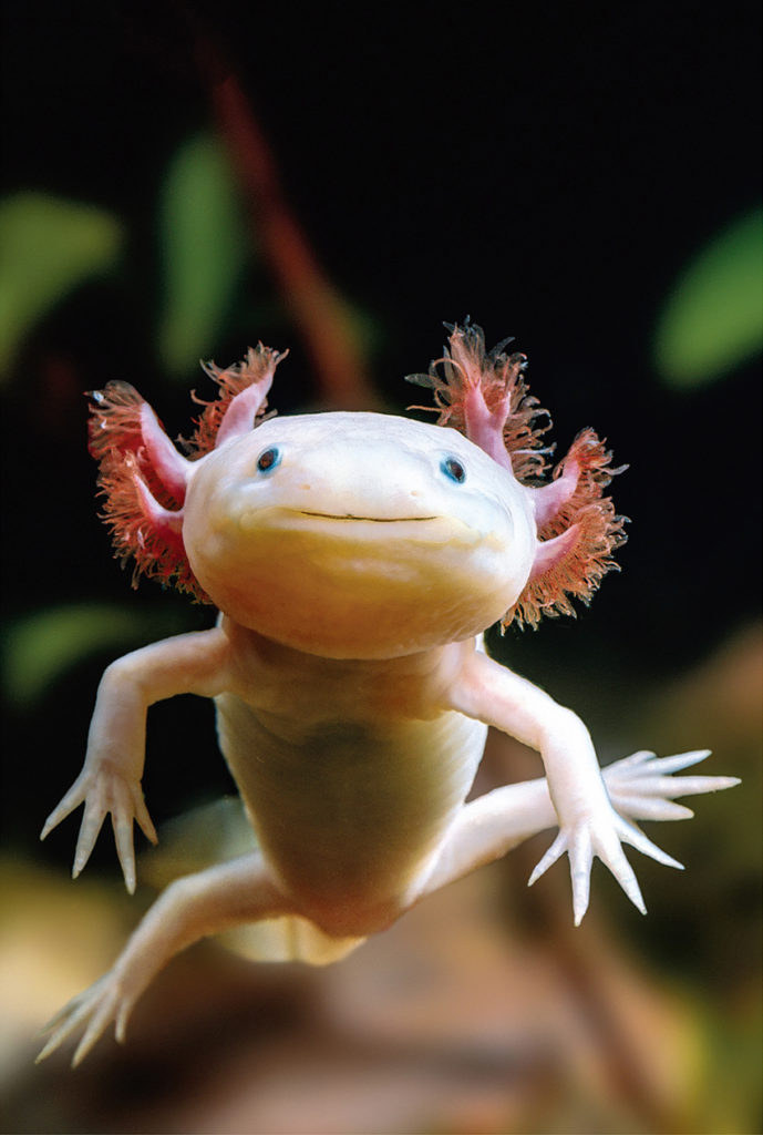 A photo of an Axolotl in a tank