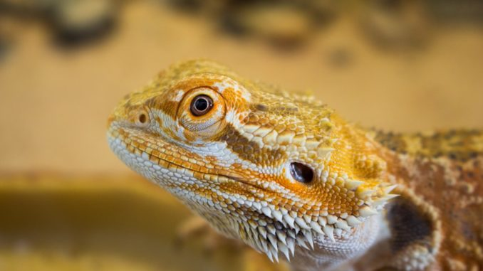 A close up photo of a bearded dragons head