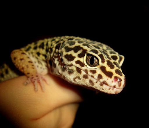 A leopard gecko being handled