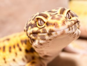 A photo of a leopard gecko head
