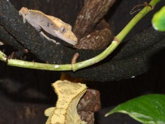 A photo of two geckos living together