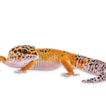 A photo of a leopard gecko on a white background