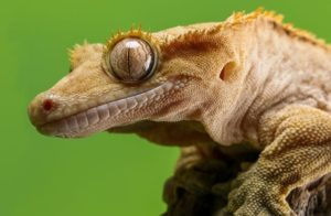 A photo of a crested gecko in a hand