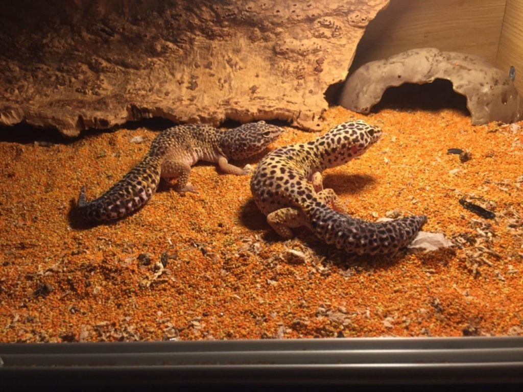Leopard geckos keeping warm in tank