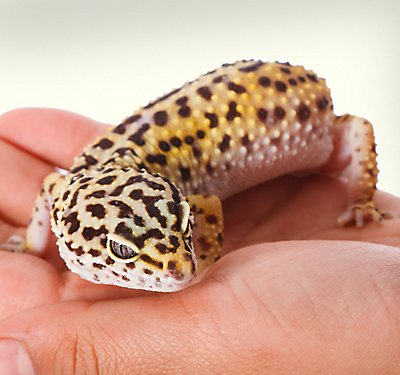 A photo of a leopard gecko