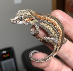 A photo of a gargoyle gecko being held