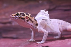 A photo of leopard gecko shedding