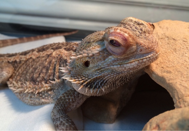 A photo of a bearded dragon with bulging eyes