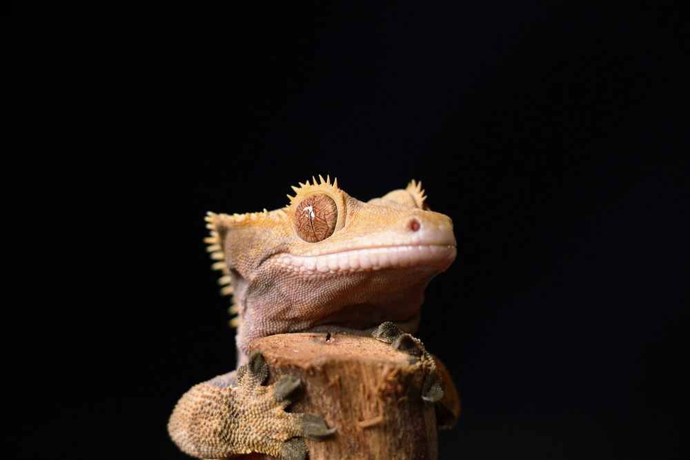 A photo of a crested gecko eating