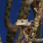 A photo of a crested gecko sat in a branch