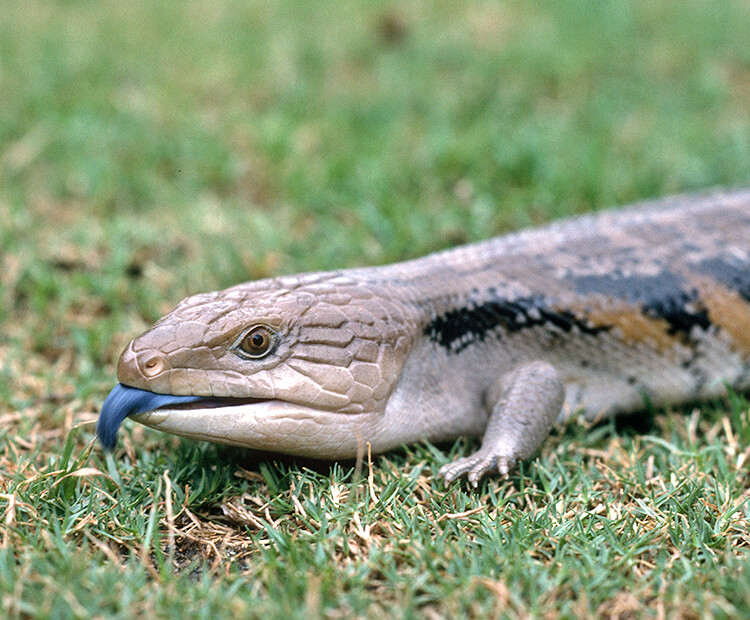 A photo of a blue tongued skink with its teeth showing