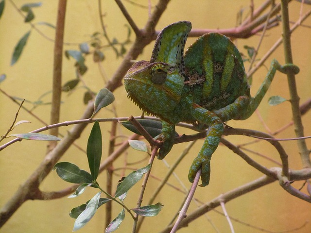 A photo of a veiled chameleon on a branch