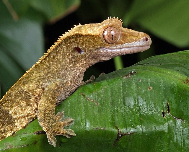 A photo of a crested gecko in its tank.