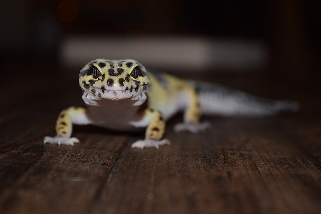 A photo of a pet leopard gecko