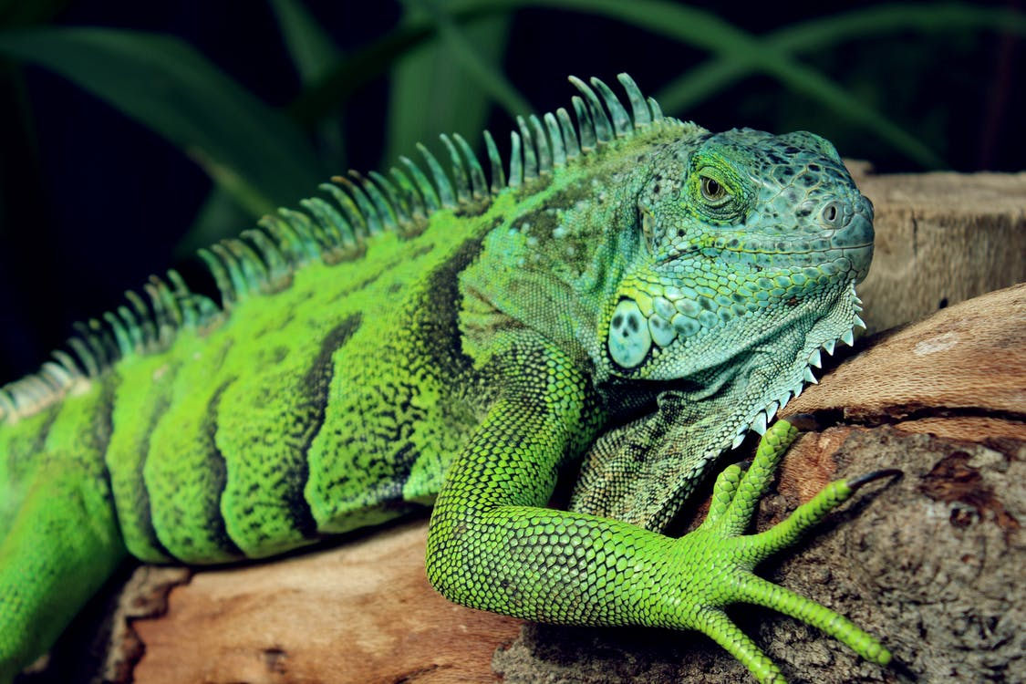 A photo of a green iguana