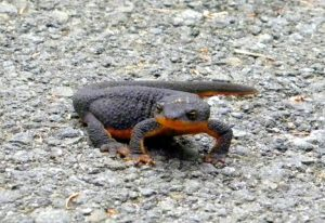 A photo of a rough skinned newt on a roadside