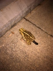 A photo of a frog excreting poop