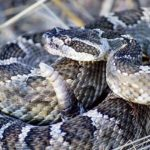 A photo of a mother rattlesnake