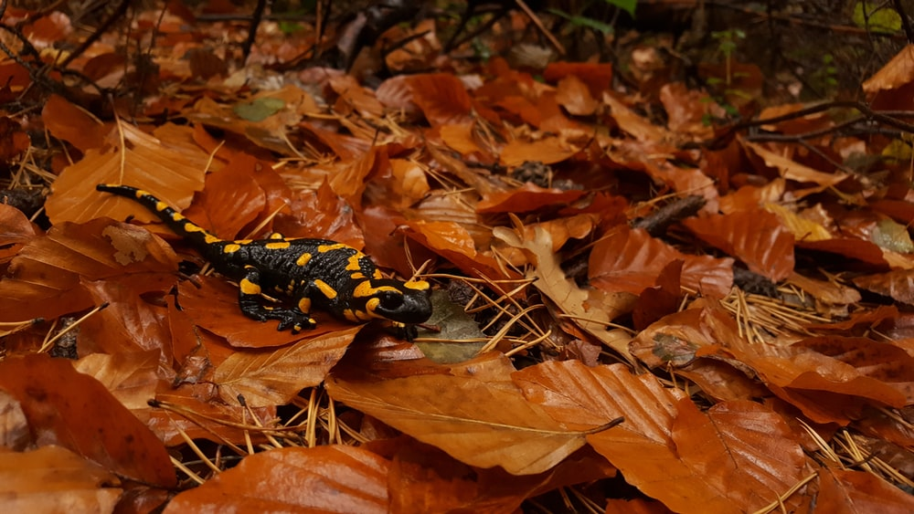 A photo of a black and yellow toxic salamander