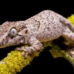 A photo of a gargoyle gecko on a tree branch