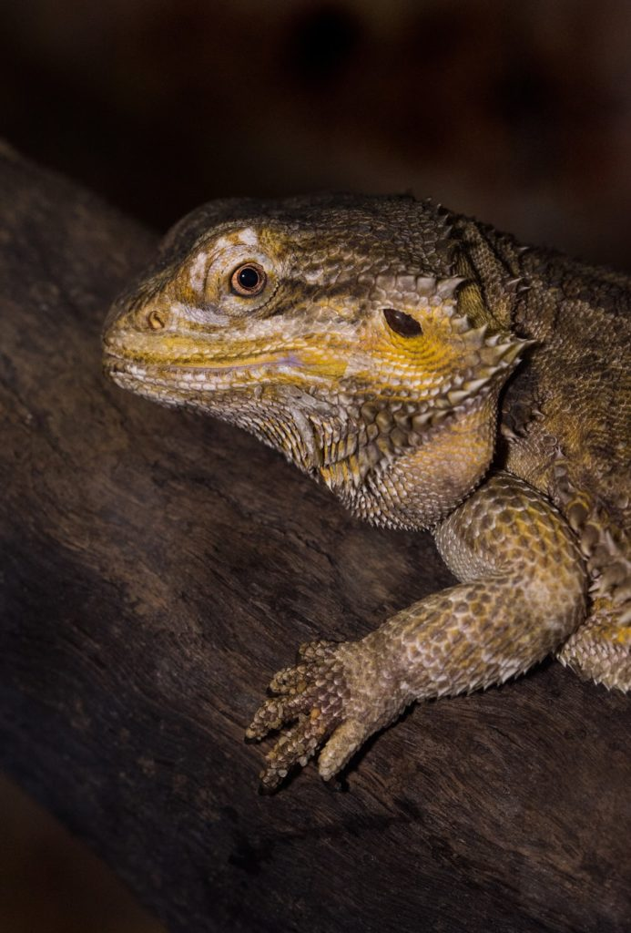 A photo of a German giant bearded dragon