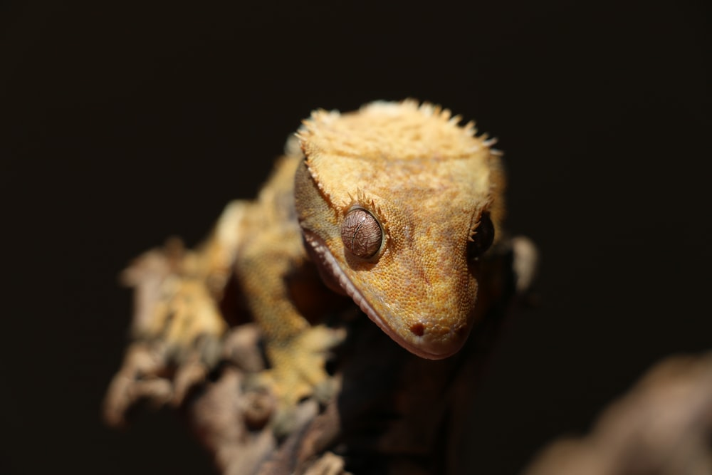 A photo of a crested gecko climbing a branch