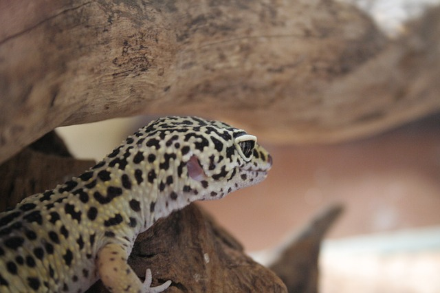 A photo of a leopard gecko on a branch making sounds and noises