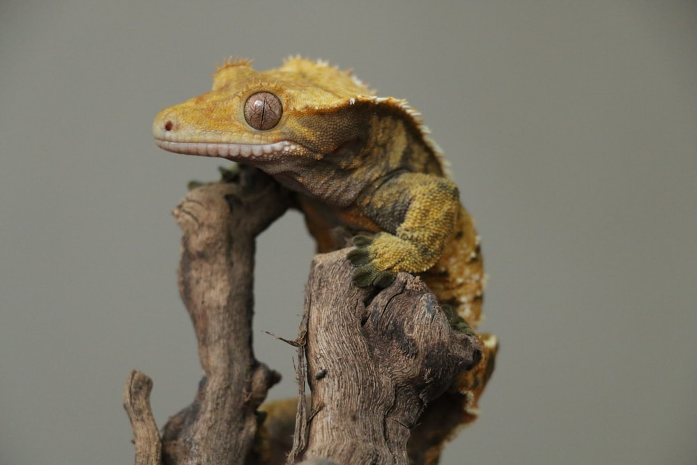 A photo of a crested gecko in a misted tank