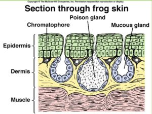 A diagram showing how a frogs skin is made up
