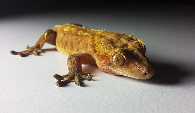 A photo of a crested gecko resting