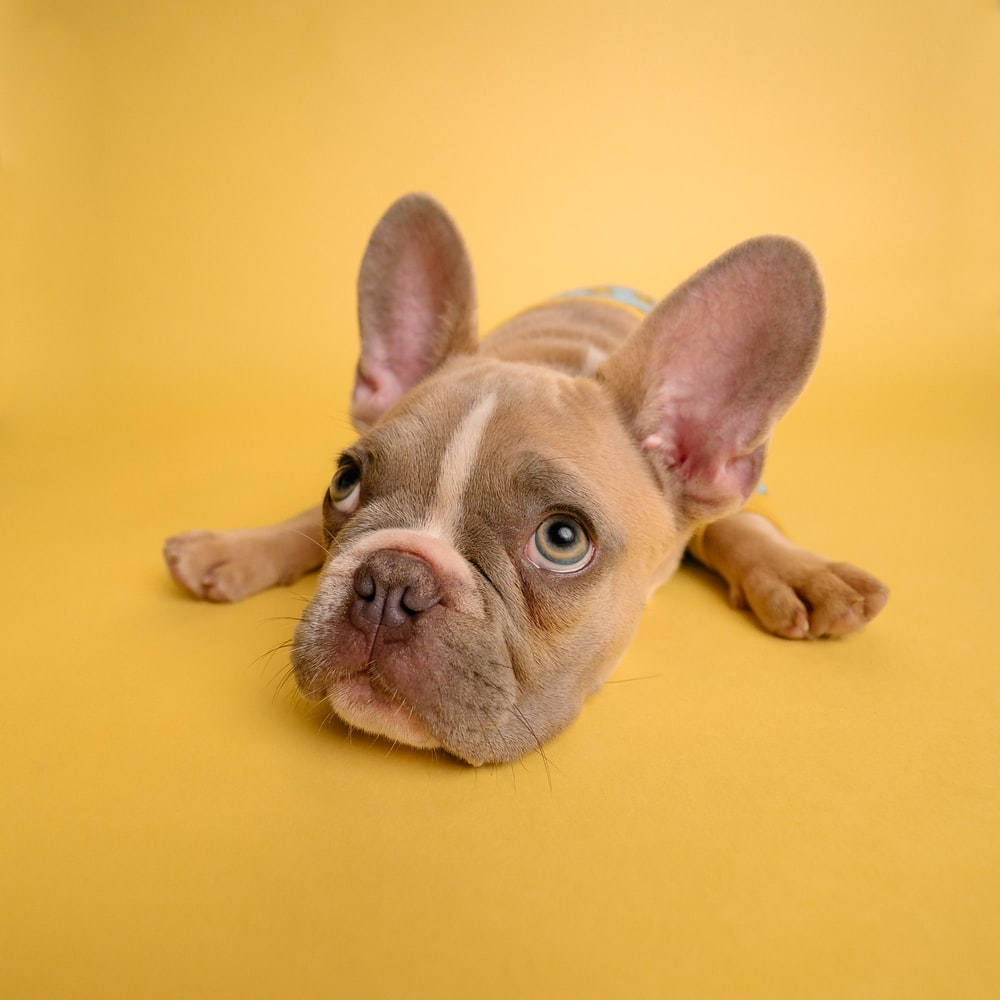 A photo of a mischievous looking french bulldog