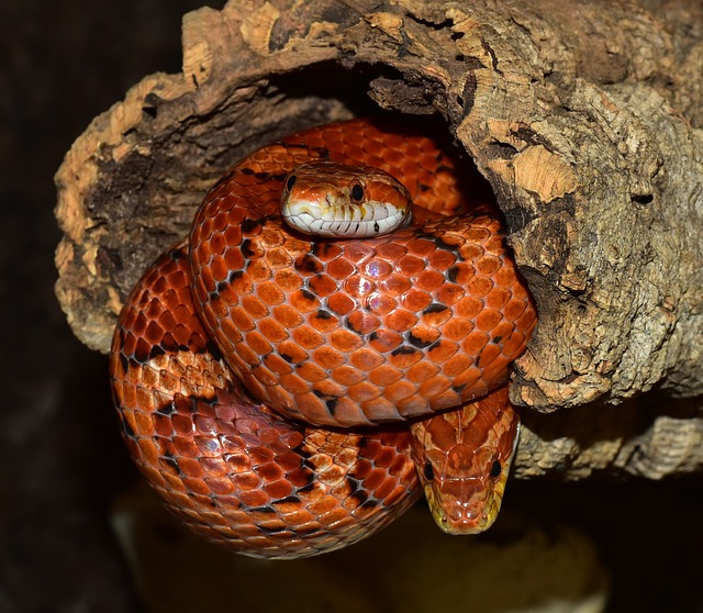 A photo of a corn snake coiled up and hiding.