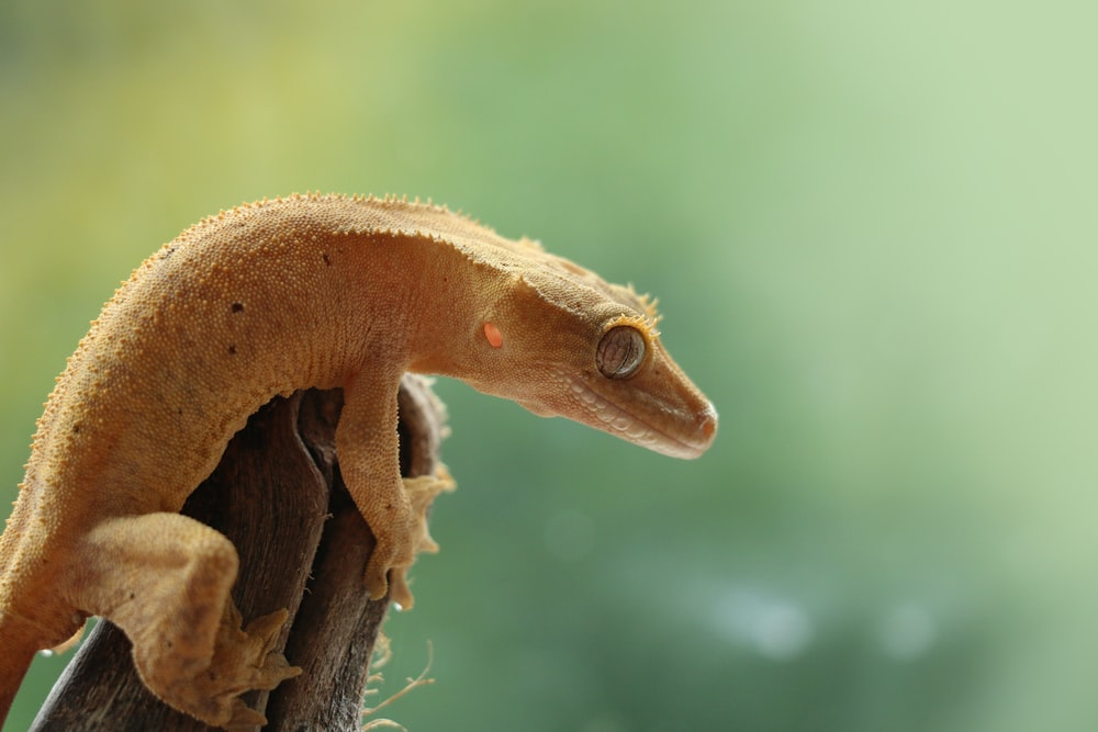 A photo of a crested gecko climbing