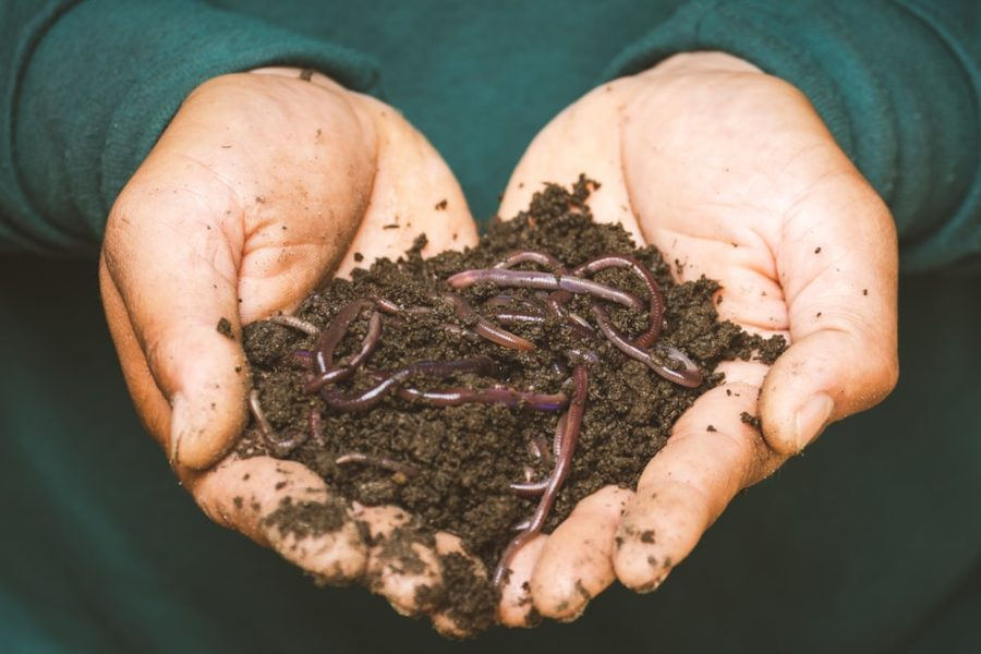A photo of some earthworm for leopard gecko feeding